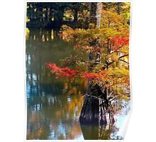 Autumn Cypress  Poster
