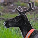 A true reindeer! Le beso a Ud la mano Senora ! God bless everyone....:-))))))   by Brown Sugar. Views (13) favorited by (2) tvm! by © Andrzej Goszcz,M.D. Ph.D