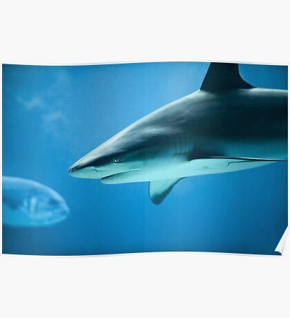 Caribbean Reef Shark - Marine Life Photography Poster