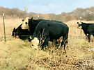 Moo Cow Munch by RC deWinter