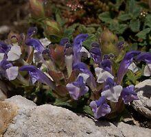 Scutellaria alpina, Mt Falakro northern Greece by Greek Mountain Flora