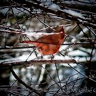 """look look, there's our cardinal in the thicket"" by Jack McCabe"