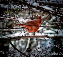 """""""look look, there's our cardinal in the thicket"""" by Jack McCabe"""
