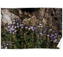 Scutellaria alpina, Mt Falakro northern Greece Poster