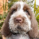 Brown Roan Italian Spinone Puppy Dog Head Shot by heidiannemorris