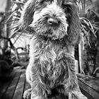 Brown Roan Italian Spinone Puppy by heidiannemorris