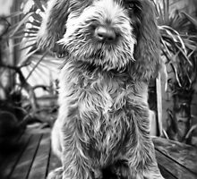 Brown Roan Italian Spinone Puppy Dog by heidiannemorris