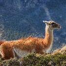 Guanaco by Peter Hammer