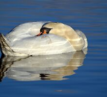 Sleeping Mute Swan by M.S. Photography/Art