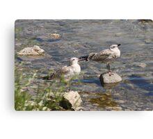 Seagulls Sunning Canvas Print