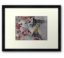 Out Stretched / Pine Grosbeak  Framed Print