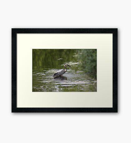 Great Blue Heron with Creek Chub Framed Print