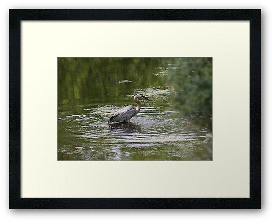 Great Blue Heron with Creek Chub by Thomas Murphy