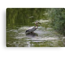 Great Blue Heron with Creek Chub Canvas Print