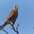 Brown Falcon by Robert Elliott
