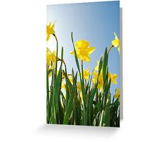 Towering daffodils  Greeting Card