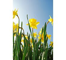 Towering daffodils  Photographic Print
