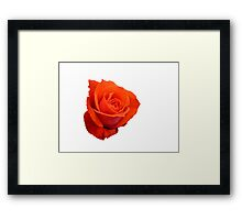 Rose on white Framed Print