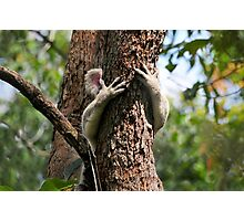 Koala Hangin' On Photographic Print