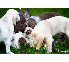Orange & White & Brown Roan Italian Spinone Puppy Dogs Photographic Print
