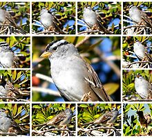 A COLLAGE OF THE NORTHERN MOCKINGBIRD IN A BOTTLEBRUSH BUSH by JAYMILO