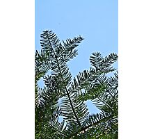 Pine Tree Needles Photographic Print