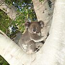 Baby Koala (Phascolarctos cinereus) by Joe Hupp