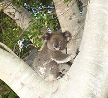 Baby Koala (Phascolarctos cinereus) by Joe Hupp