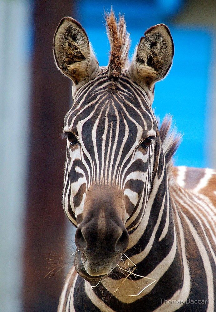 Zebra munching on some grass by TJ Baccari Photography