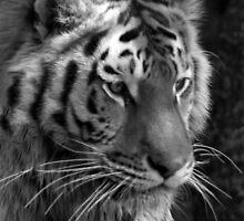 tiger tiger by Penny Rumbelow