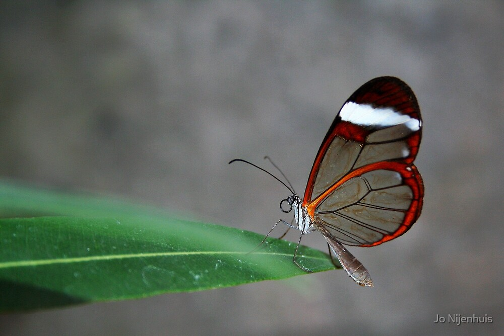 Glasswinged Butterfly by Jo Nijenhuis