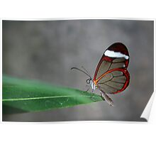 Glasswinged Butterfly Poster