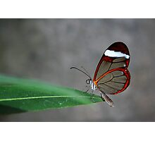 Glasswinged Butterfly Photographic Print