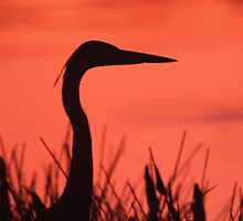 Heron Sunset by William C. Gladish