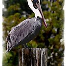 PELICAN AT BIG PINE KEY IN KEY WEST by FSULADY