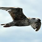 SEAGULL IN FLIGHT by FSULADY