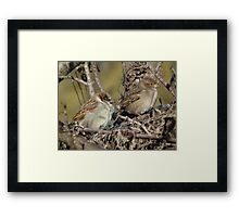 House Sparrow - Male and Female Framed Print