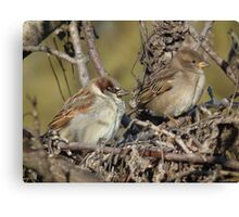 House Sparrow - Male and Female Canvas Print