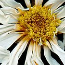 Flower - Daisy - Drunken sun by Mike  Savad