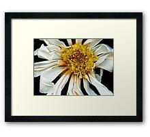Flower - Daisy - Drunken sun Framed Print