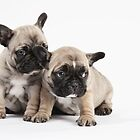Pedigree French Bulldog Puppy Pals by Andrew Bret Wallis