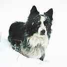 Working Border Collie in Winter by Andrew Bret Wallis
