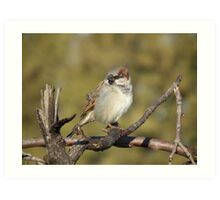 Male House Sparrow on Pine Branch Art Print