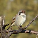 Male House Sparrow on Pine Branch by Deb Fedeler