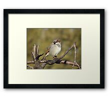 Male House Sparrow on Pine Branch Framed Print