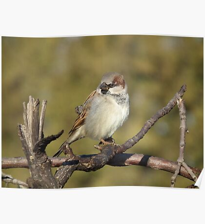 Male House Sparrow on Pine Branch Poster