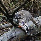 Raccoon Attacks Mallard # 3 - Lost Lagoon, Stanley Park, Vancouver, British Columbia by Stephen Stephen