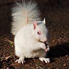 Albino squirrel by Geoff Carpenter