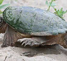 Egg Burier - Snapping Turtle by DigitallyStill