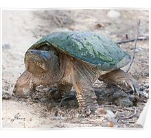 A Momentary Glace - Snapping Turtle Poster